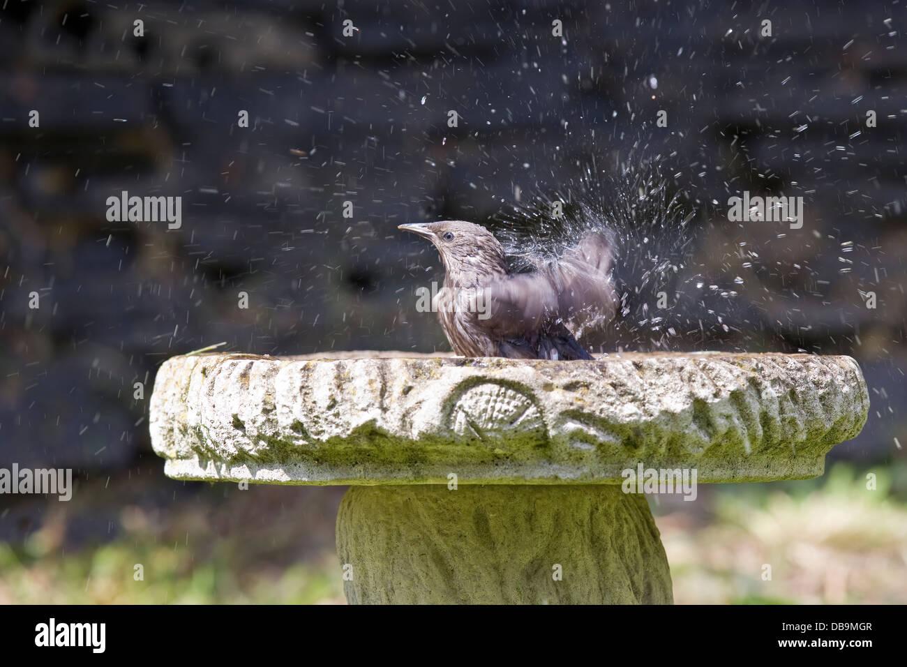 Juvenile Starling Sturnus Vulgaris bathing in a bird bath in hot weather - Stock Image
