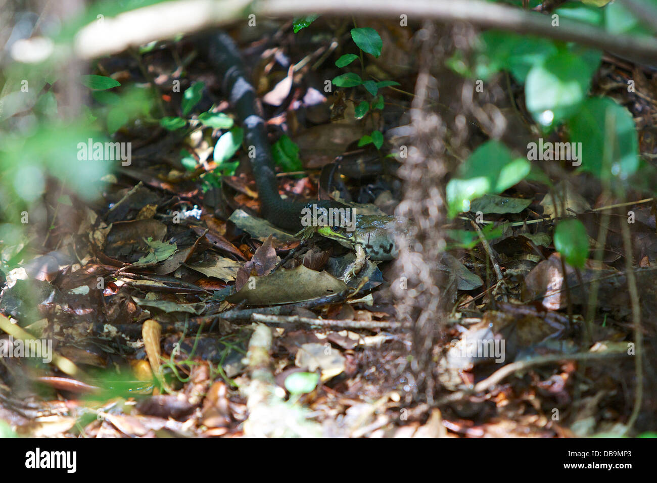 Black Racer snake with a recently caught frog, Audubon Swamp Garden, Charleston, South Carolina - Stock Image