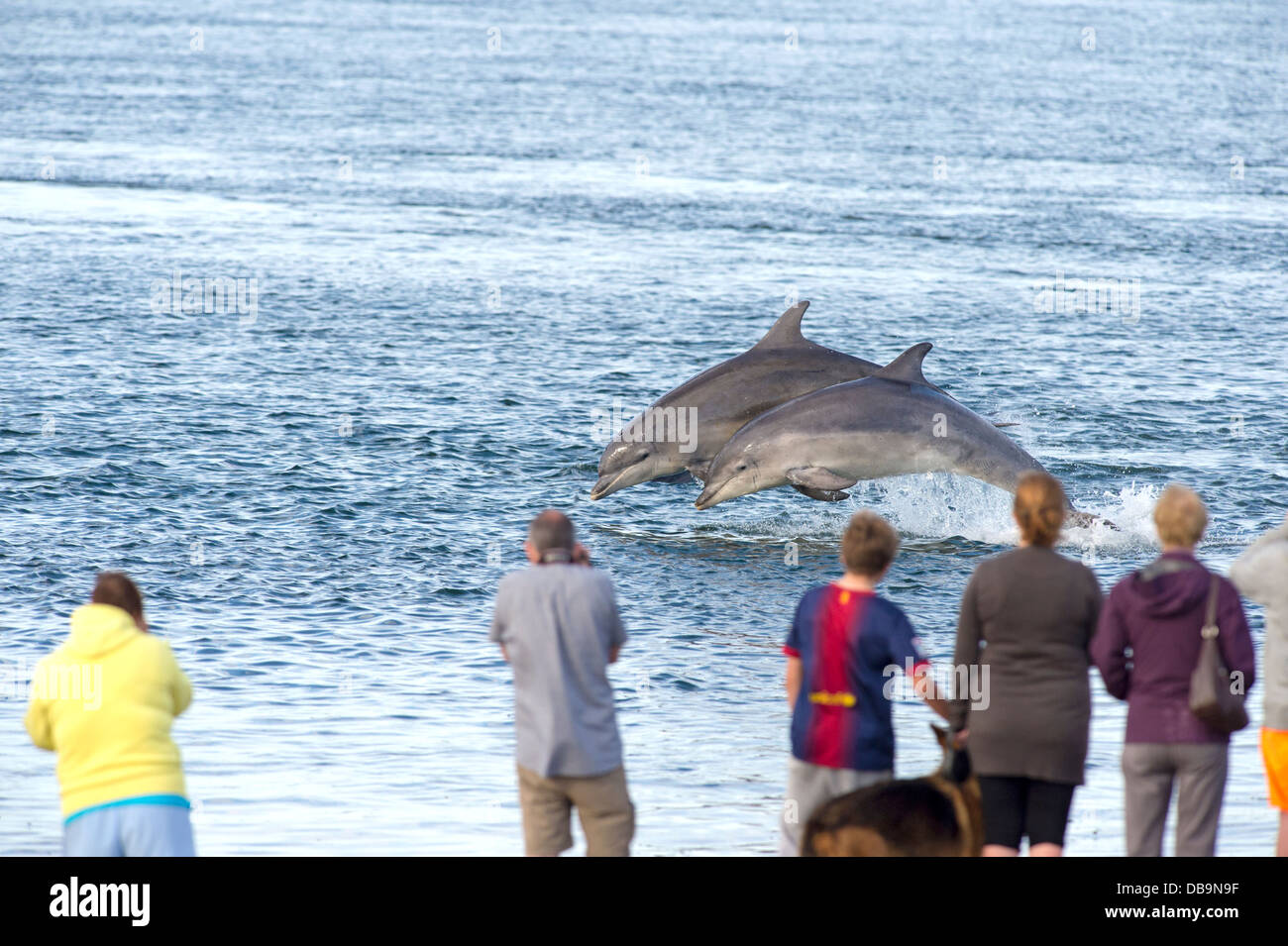 People watching common bottle nosed dolphins breaching, Chanonry Point, Moray firth, Scotland, UK - Stock Image