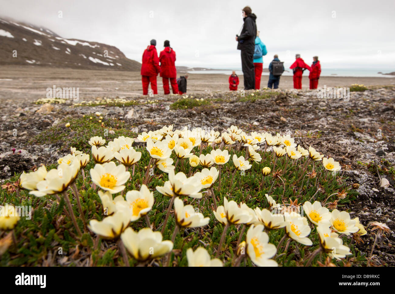 Arctic wildlflowers in front of a glacier in northern Svalbard. - Stock Image