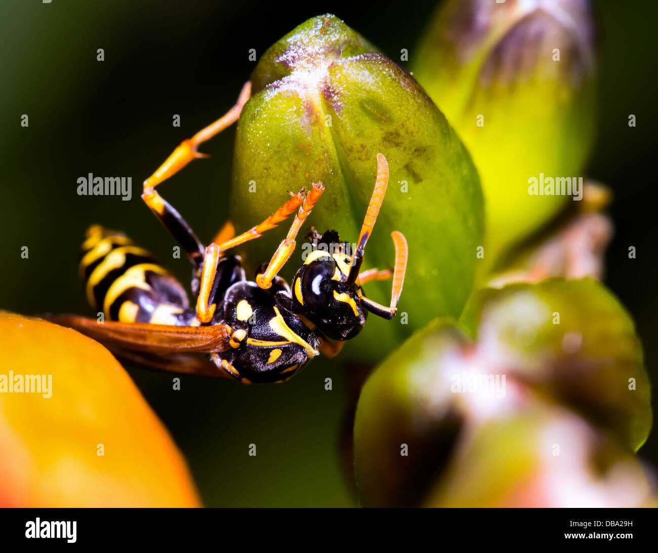 Vespula vulgaris, Yellow jacket wasp on daylily buds in Chicago's IL Lurie Garden in July. - Stock Image