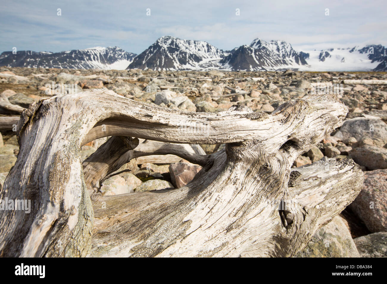 Drift wood from Siberian forests washed up on the shore at Smeerenburg (79°44'n 011°04'e) on northern - Stock Image