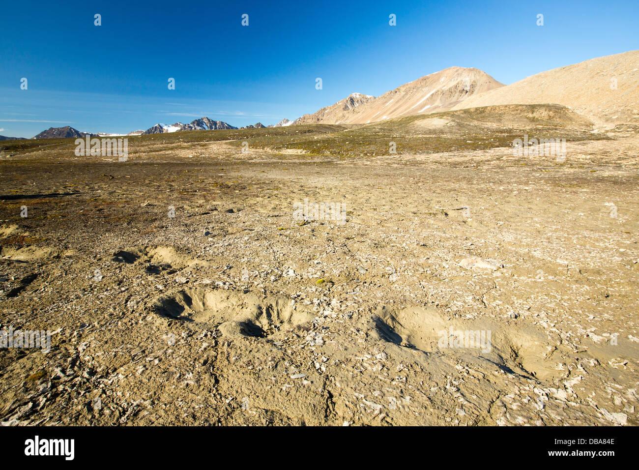 Polar Bear footprints in melting permafrost on Northern Svalbard. - Stock Image