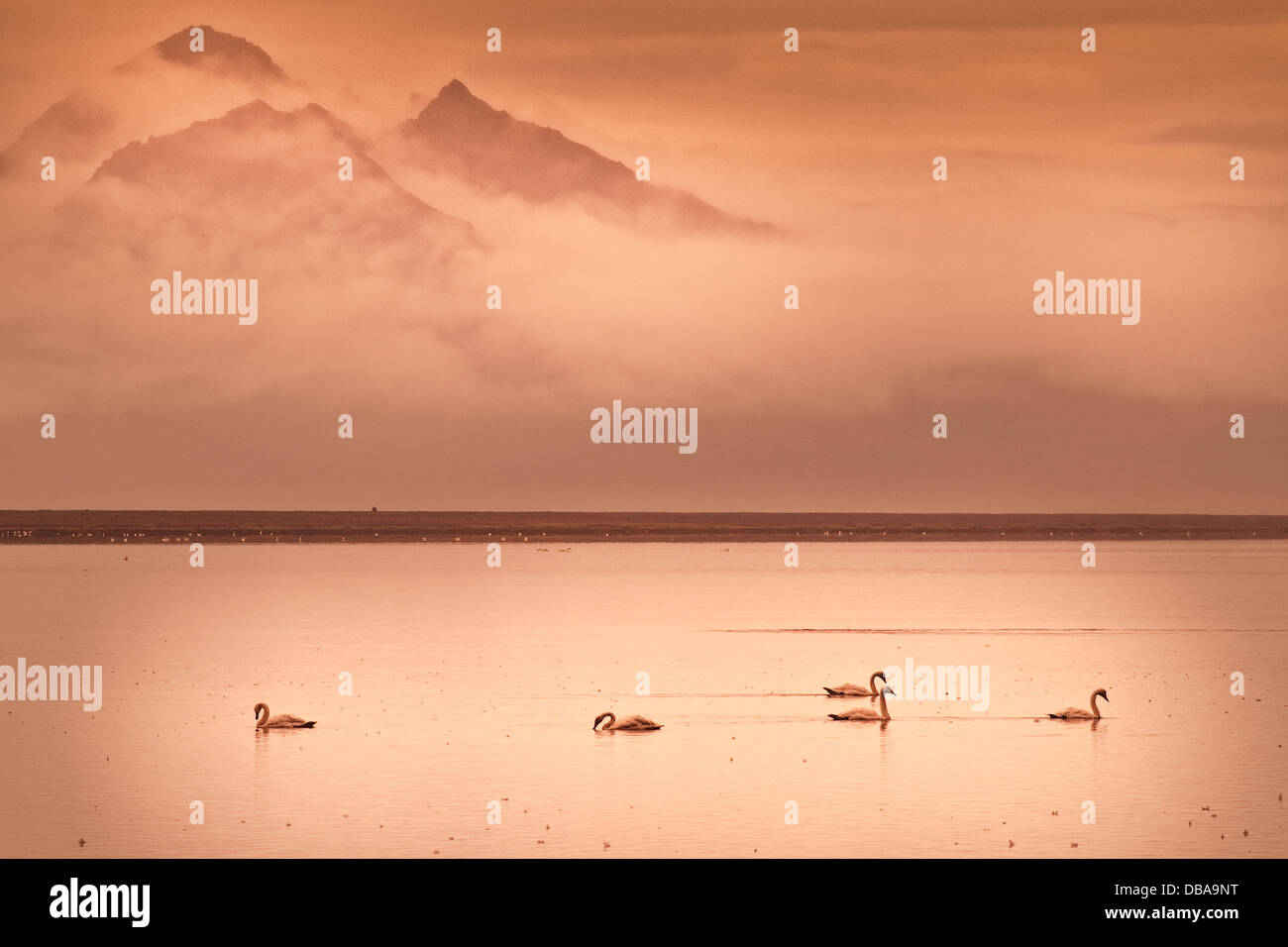 Group of swans swimming at dawn. Lónsfjördur, near Höfn. Southeastern Iceland. Europe. - Stock Image
