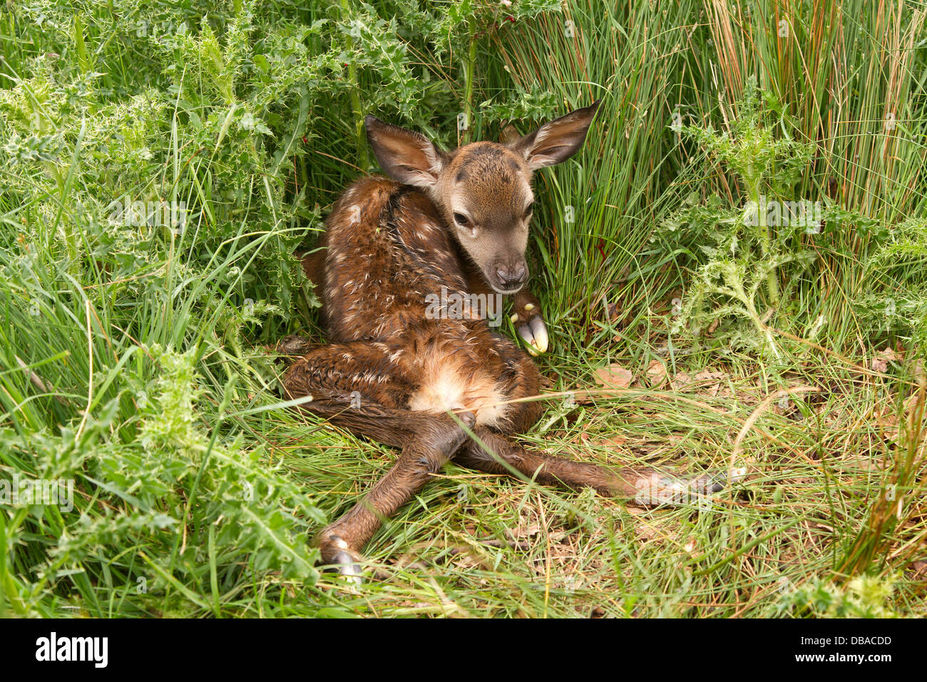 Young newly born red deer, cervus elaphus in vegetation - Stock Image
