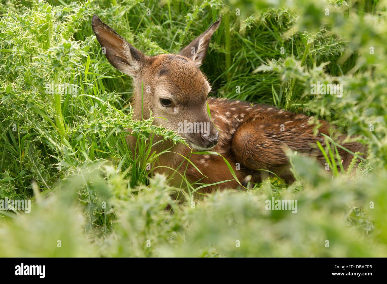 Young red deer, cervus elaphus in thistles - Stock Image