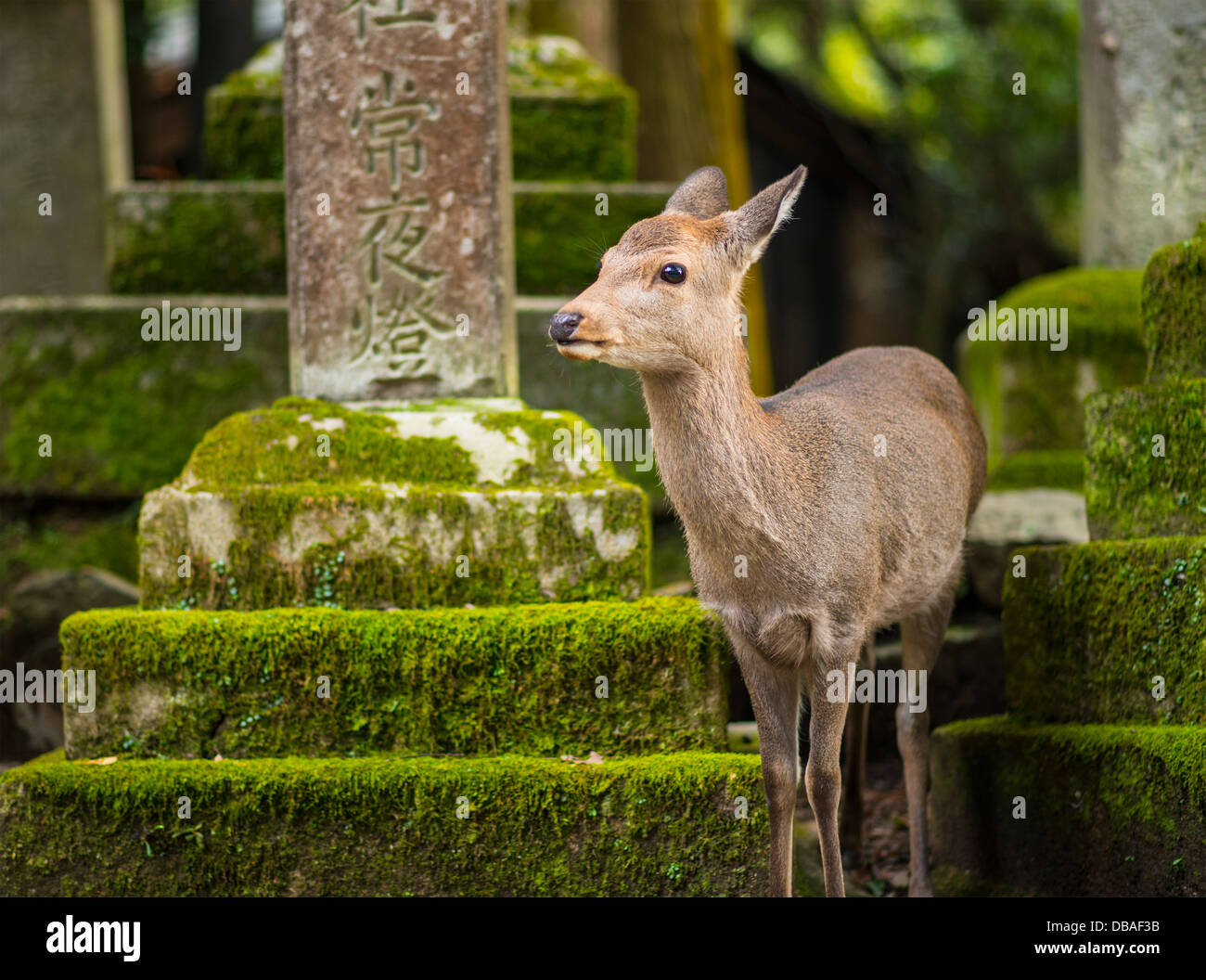 Nara deer roam free in Nara Park, Japan. - Stock Image