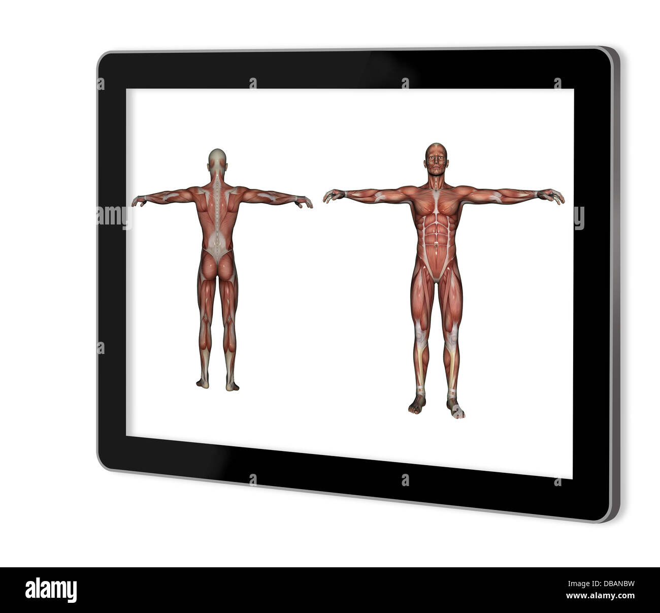 Human Anatomy - Male Muscles show on tablet made in 2d software ...
