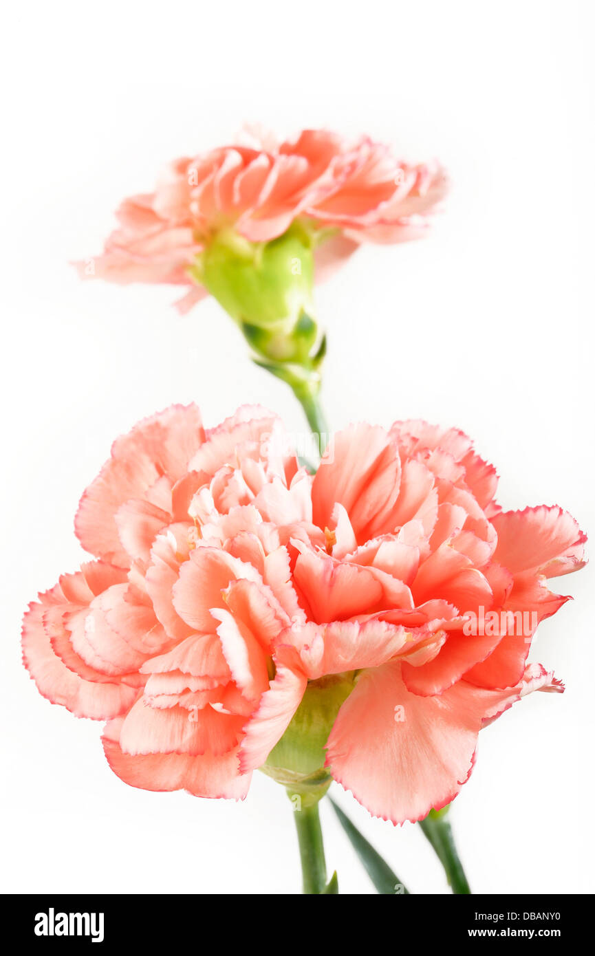 orange carnation flowers on white background - Stock Image
