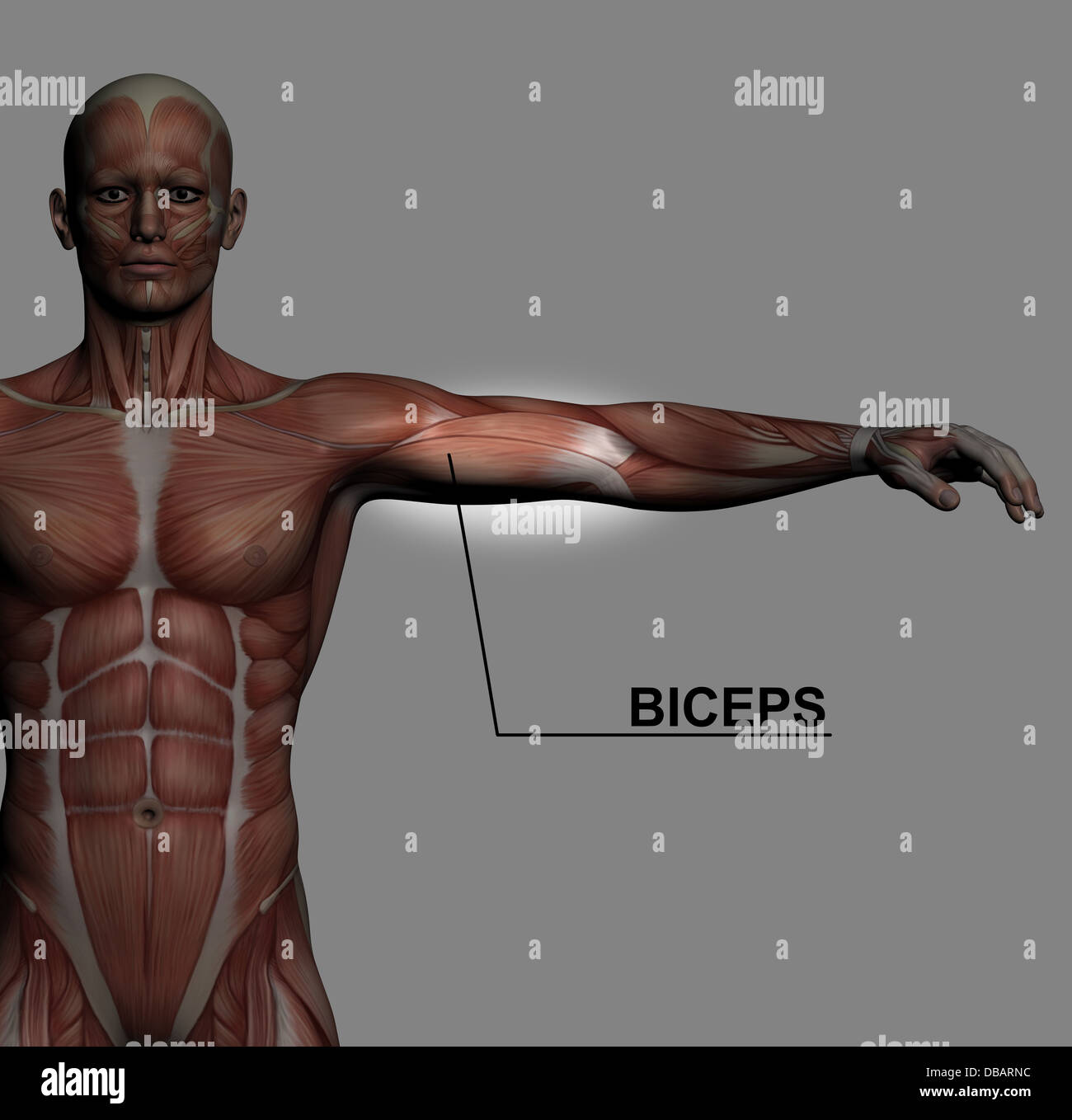 Human Anatomy Male Muscles Made In 3d Software With Highlighting