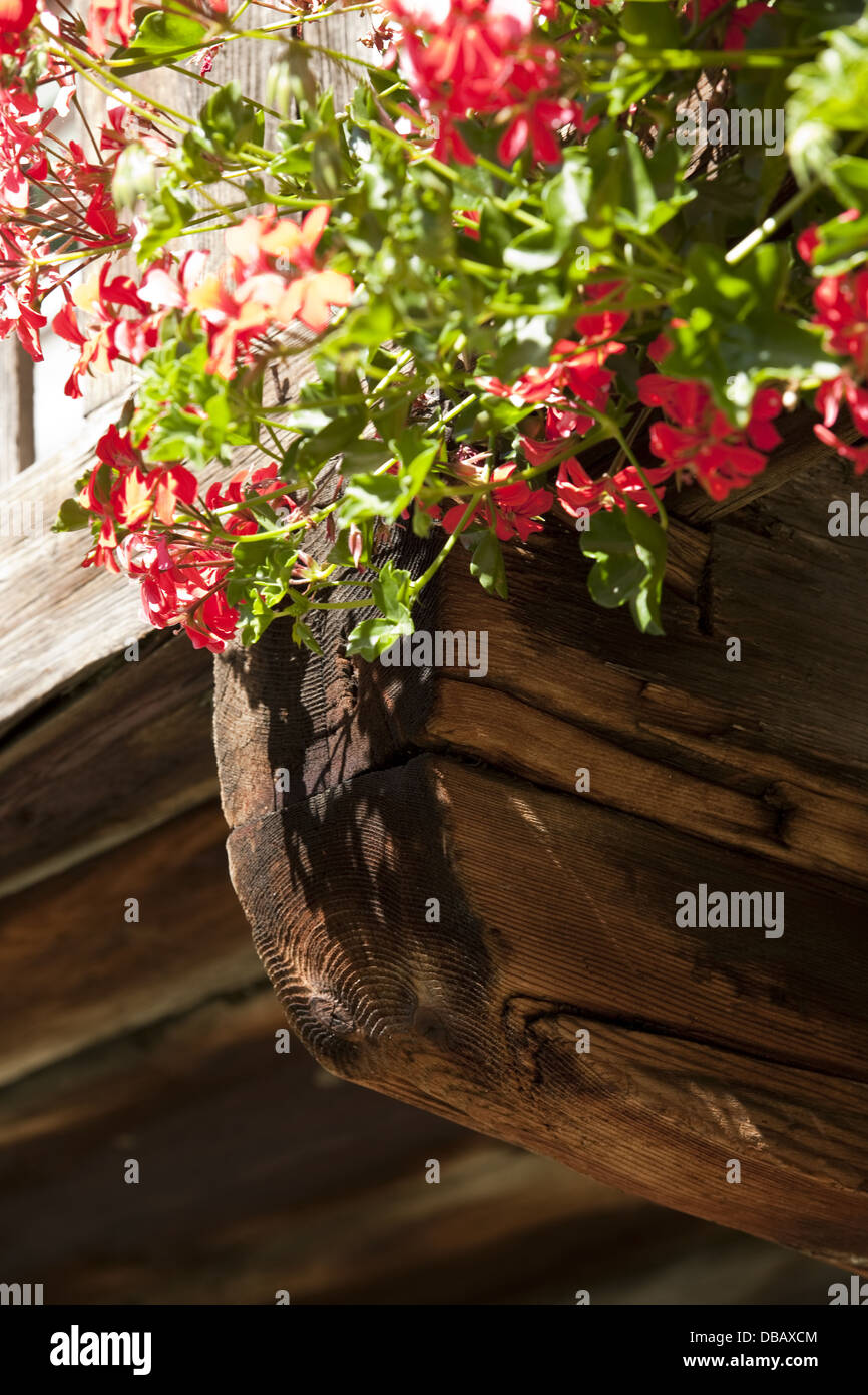 flower, Austria - Stock Image