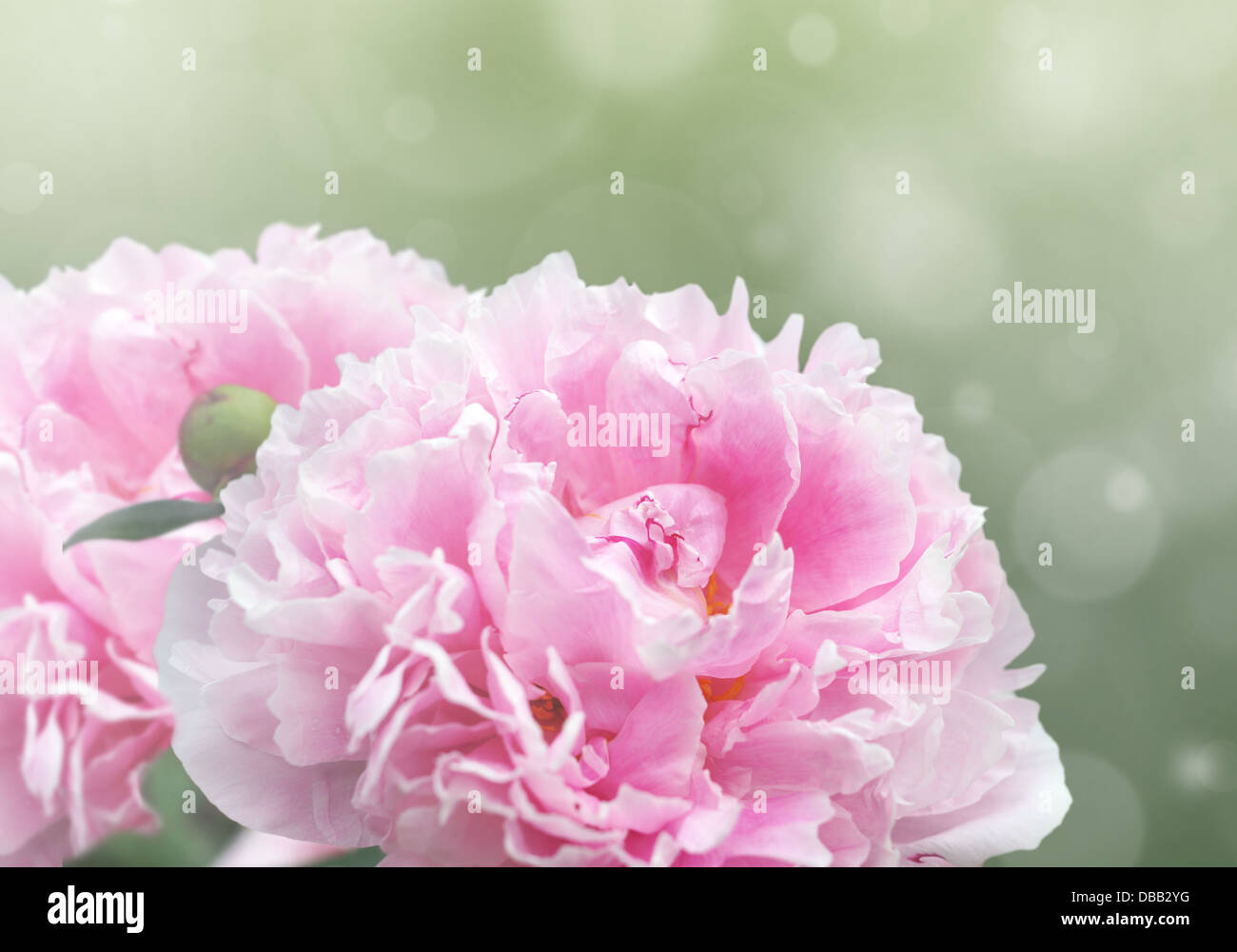Beautiful dreamy floral background with pink peony flowers, bokeh and light effects. - Stock Image