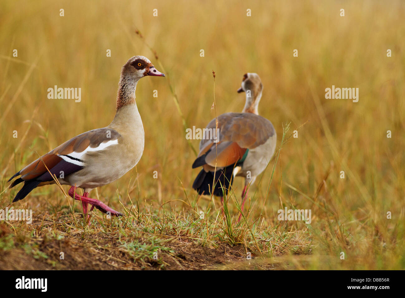 Egyptian Geese in the grassland. Stock Photo