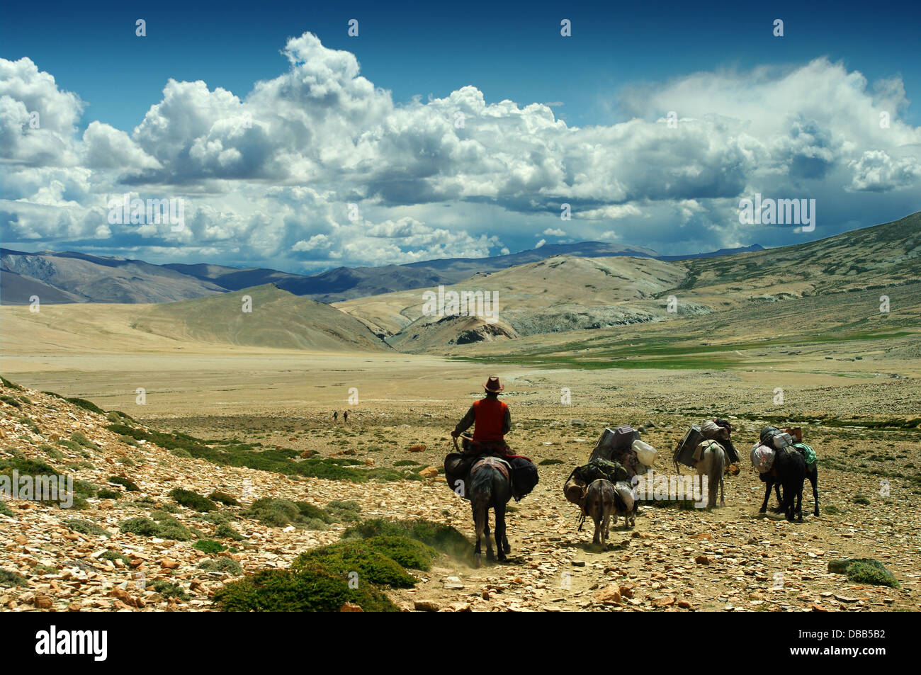 cow-boy in the plains of the Himalayas in Ladakh - Stock Image