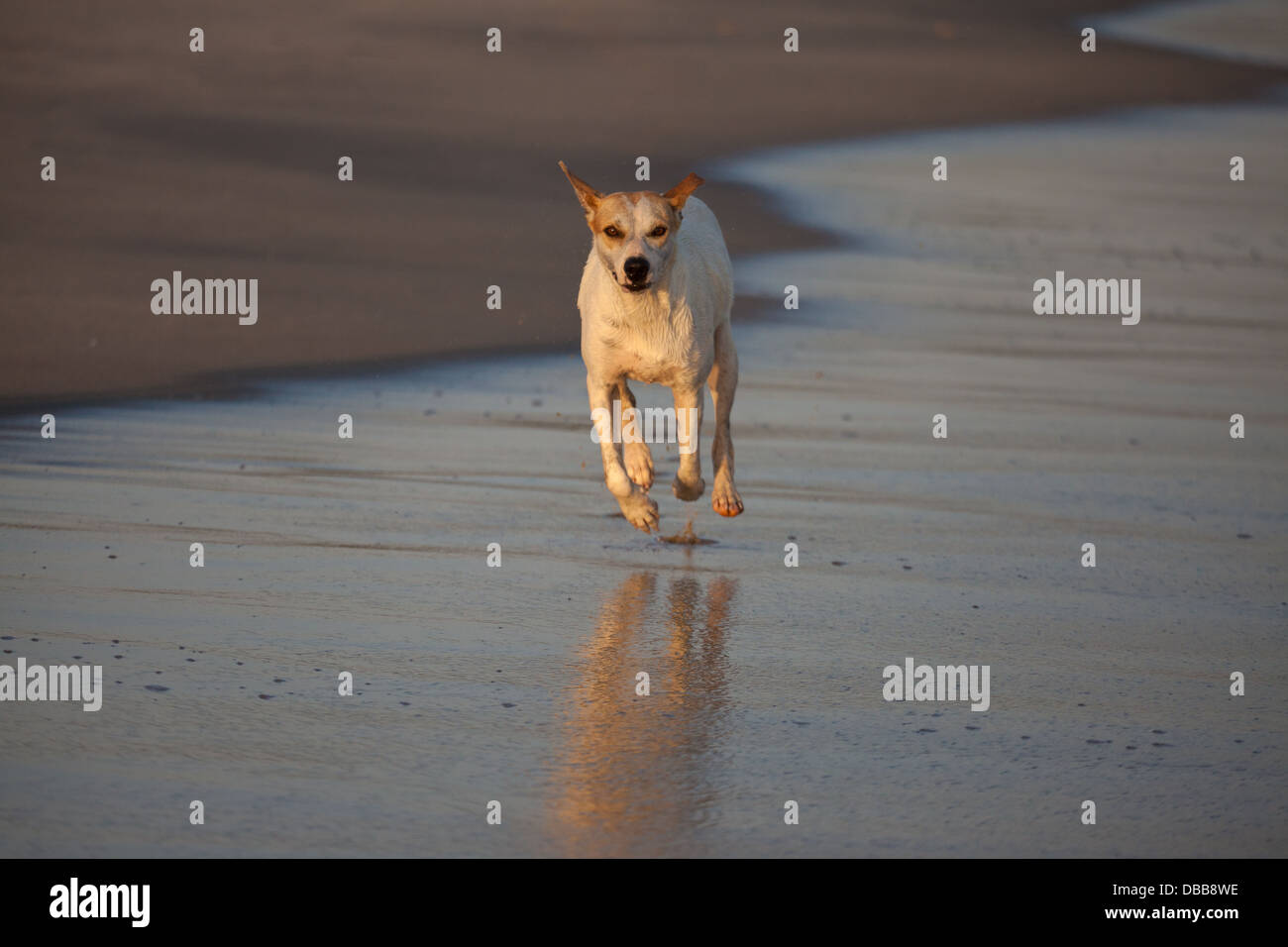 Running dog and reflection on the Pacific coast, Cocle province, Republic of Panama. - Stock Image