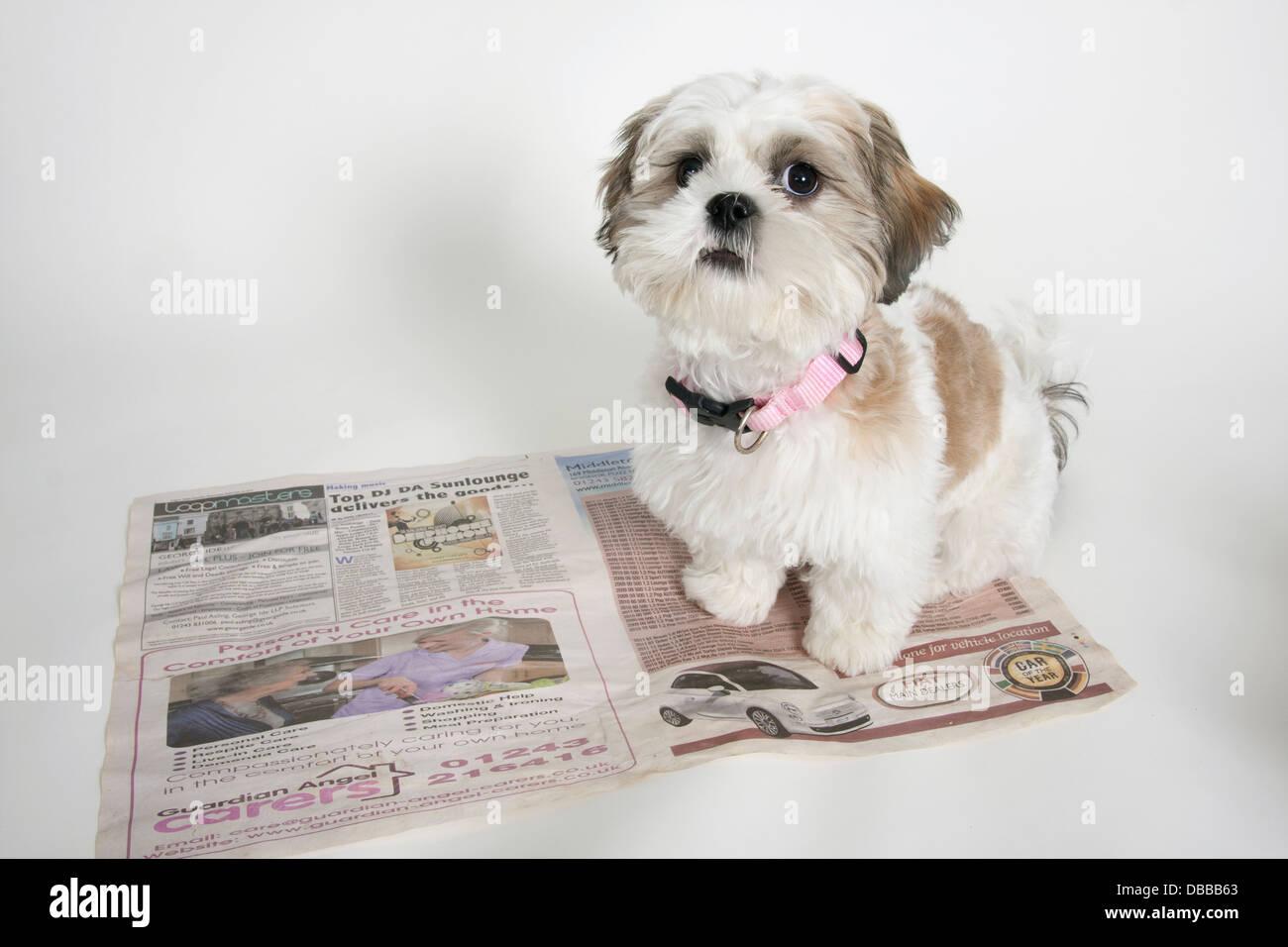 Shih Tzu Puppy Sitting On Newspaper Toilet Training Stock Photo