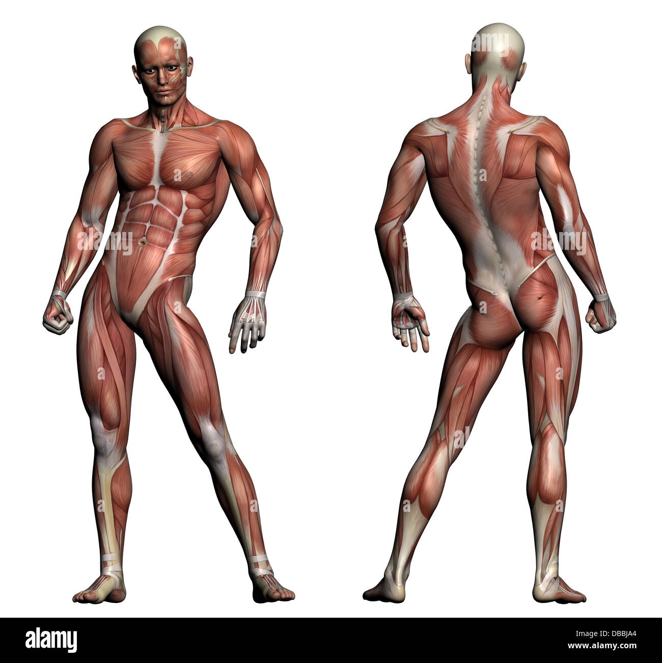 Human Anatomy Male Muscles Made Stock Photos Human Anatomy Male