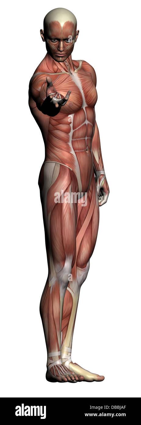 Human Anatomy Male Muscles Made Stock Photos Human Anatomy Male