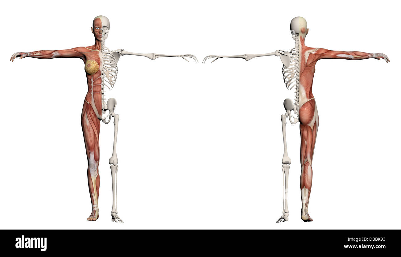 Human body of a female with muscles and skeleton made in 3d software ...