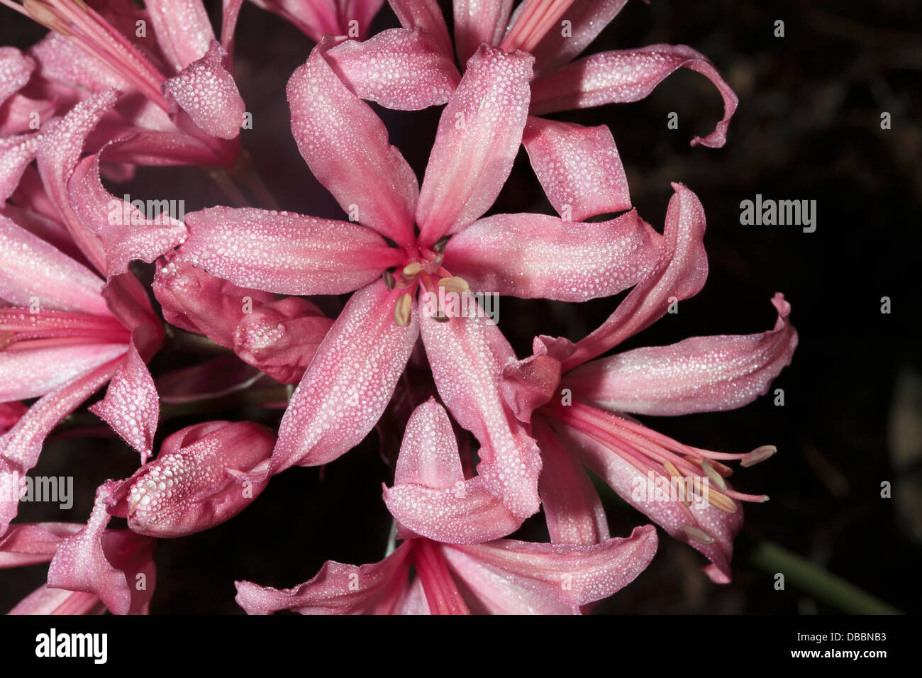 Close-up of Pink Nerina/Pink Nerine/Guernsey Lily covered in dew-Nerine sarniensis-Family Amaryllidaceae - Stock Image