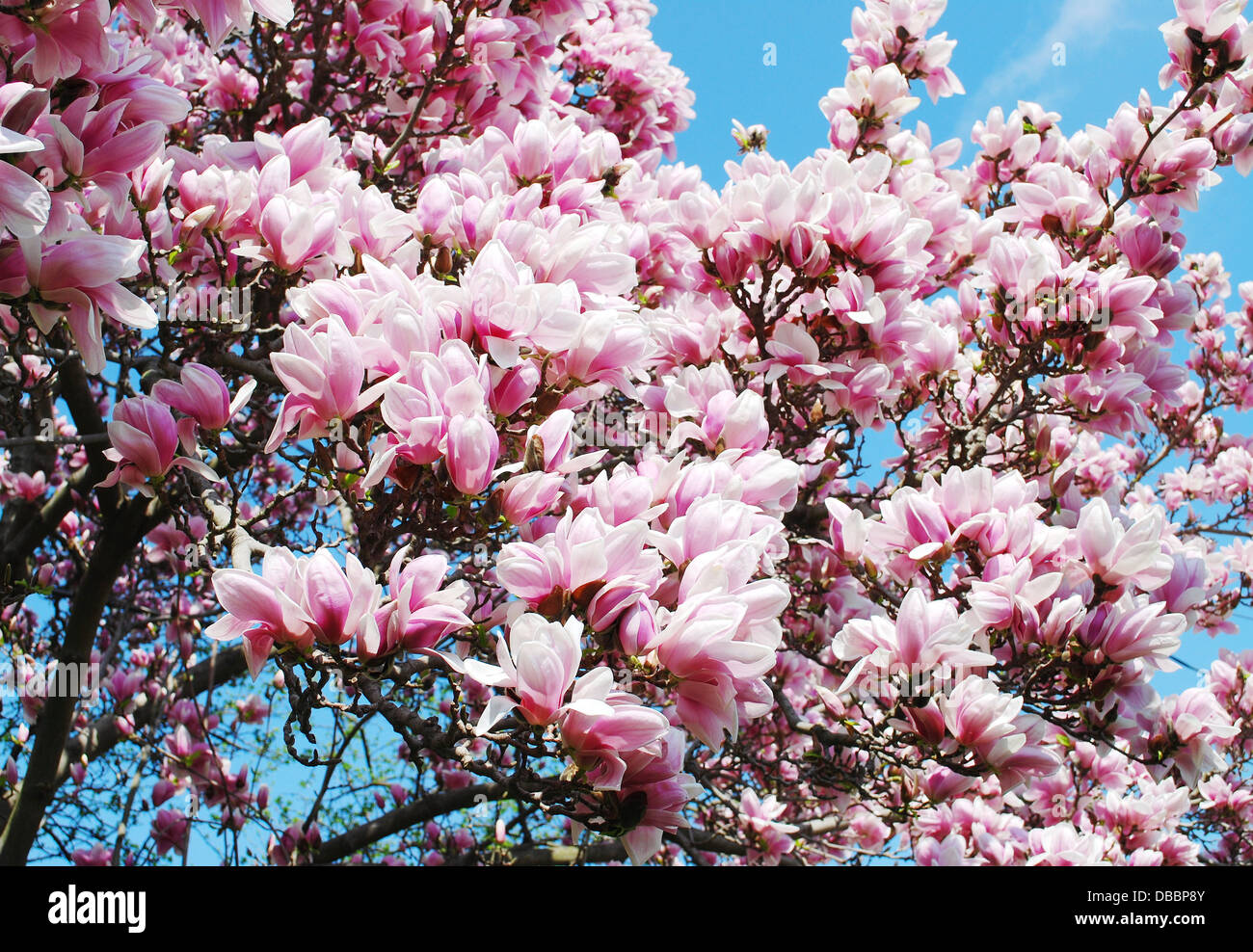 Magnolia Tree Flowers Blossom Closeup Isolated Blooming