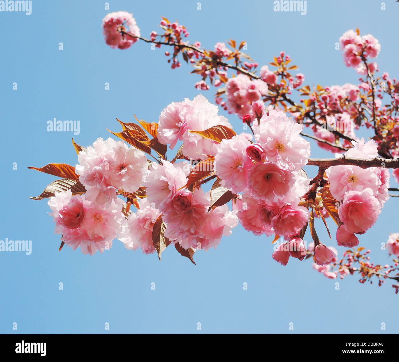 Cherry Blossom Branch High Resolution Stock Photography And Images Alamy