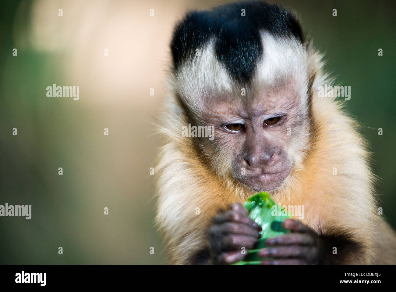 A close-up of the expressive face of a capuchin monkey eating Stock Photo