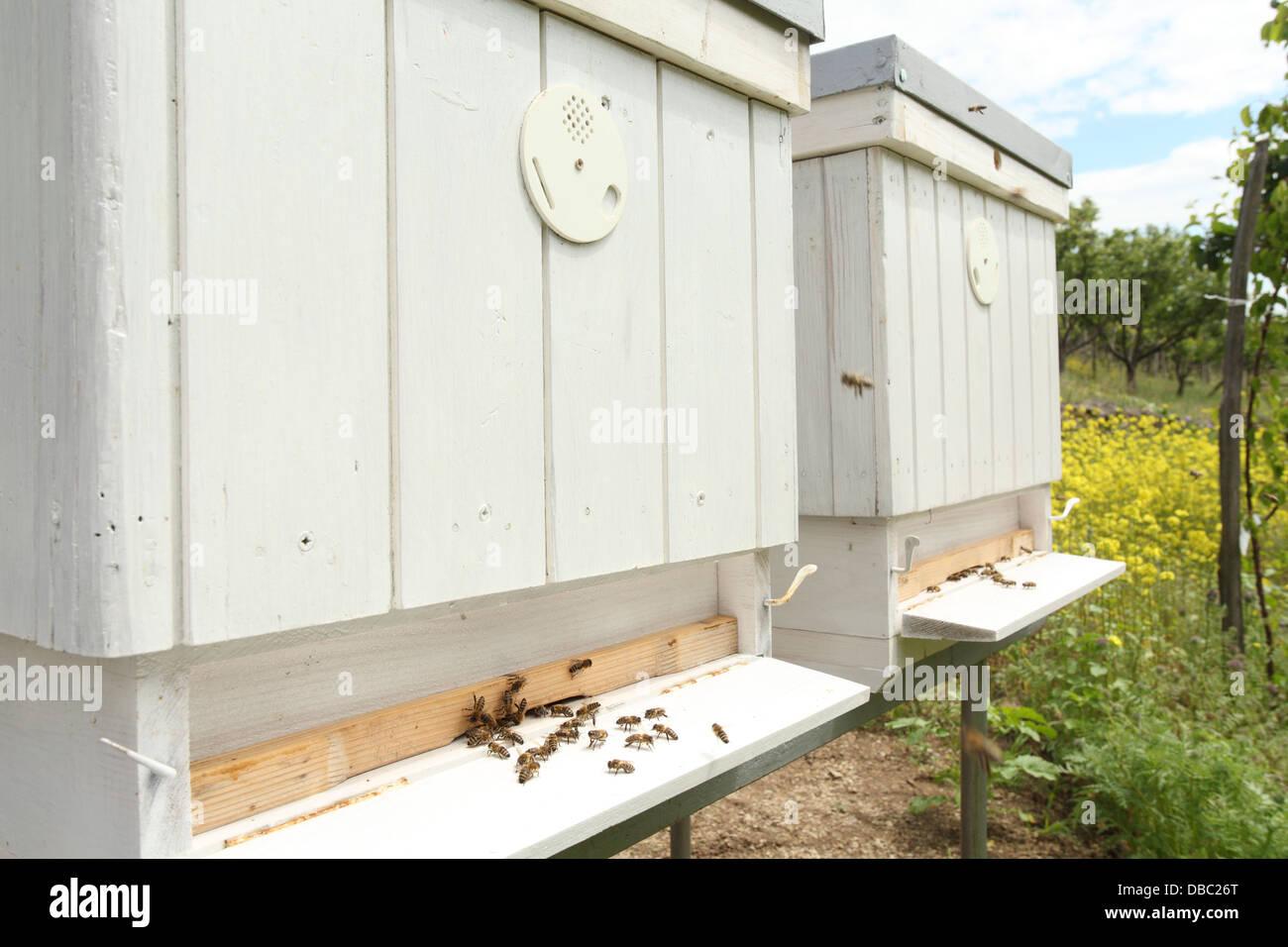 The European honey bees (Apis mellifera) at the entrance of bee hives.. Location: Male Karpaty, Slovakia. - Stock Image