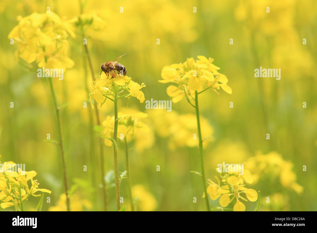 The European honey bee (Apis mellifera) collecting nectar on the flowers of White mustard plants(Sinapis alba). - Stock Image