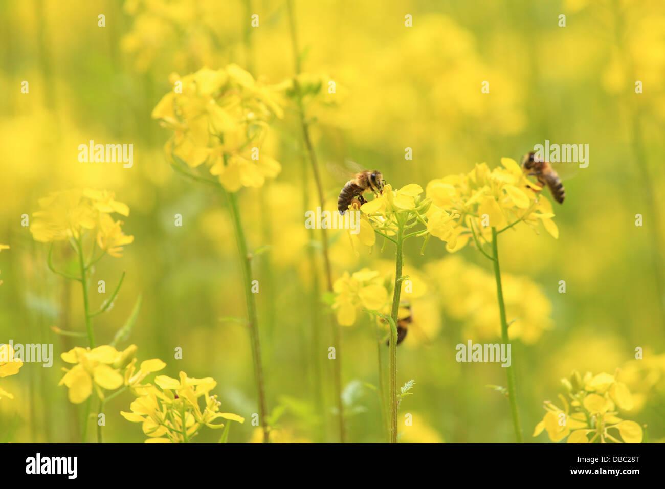 The European honey bees (Apis mellifera) collecting nectar on the flowers of White mustard plants(Sinapis alba). - Stock Image