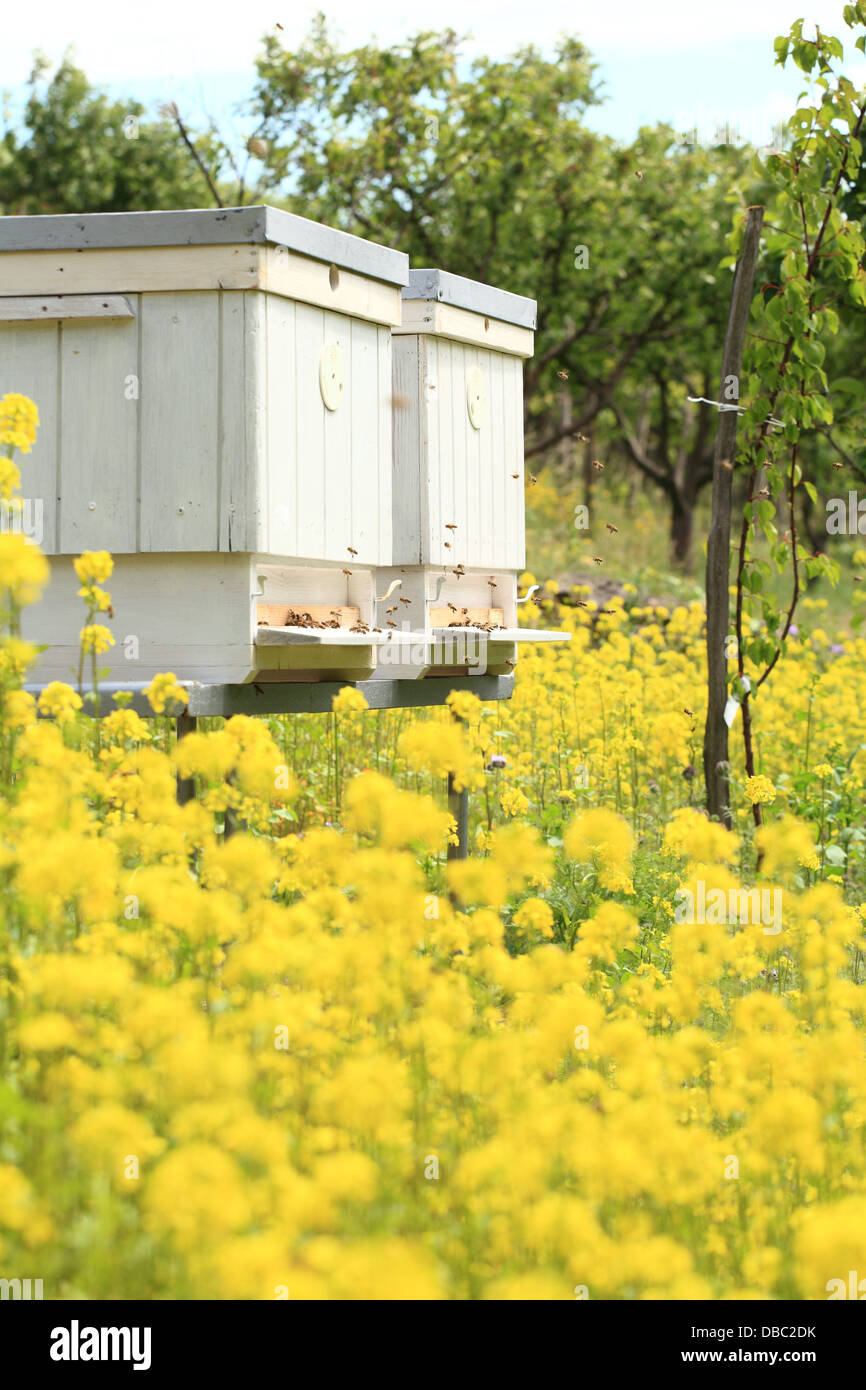 The blooming yellow flowers of White mustard (Sinapis alba) in front of bee hives. Location: Male Karpaty, Slovakia. - Stock Image
