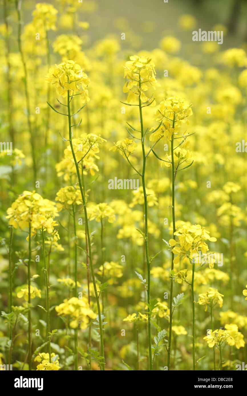 The Blooming Yellow Flowers Of White Mustard Plants Sinapis Alba