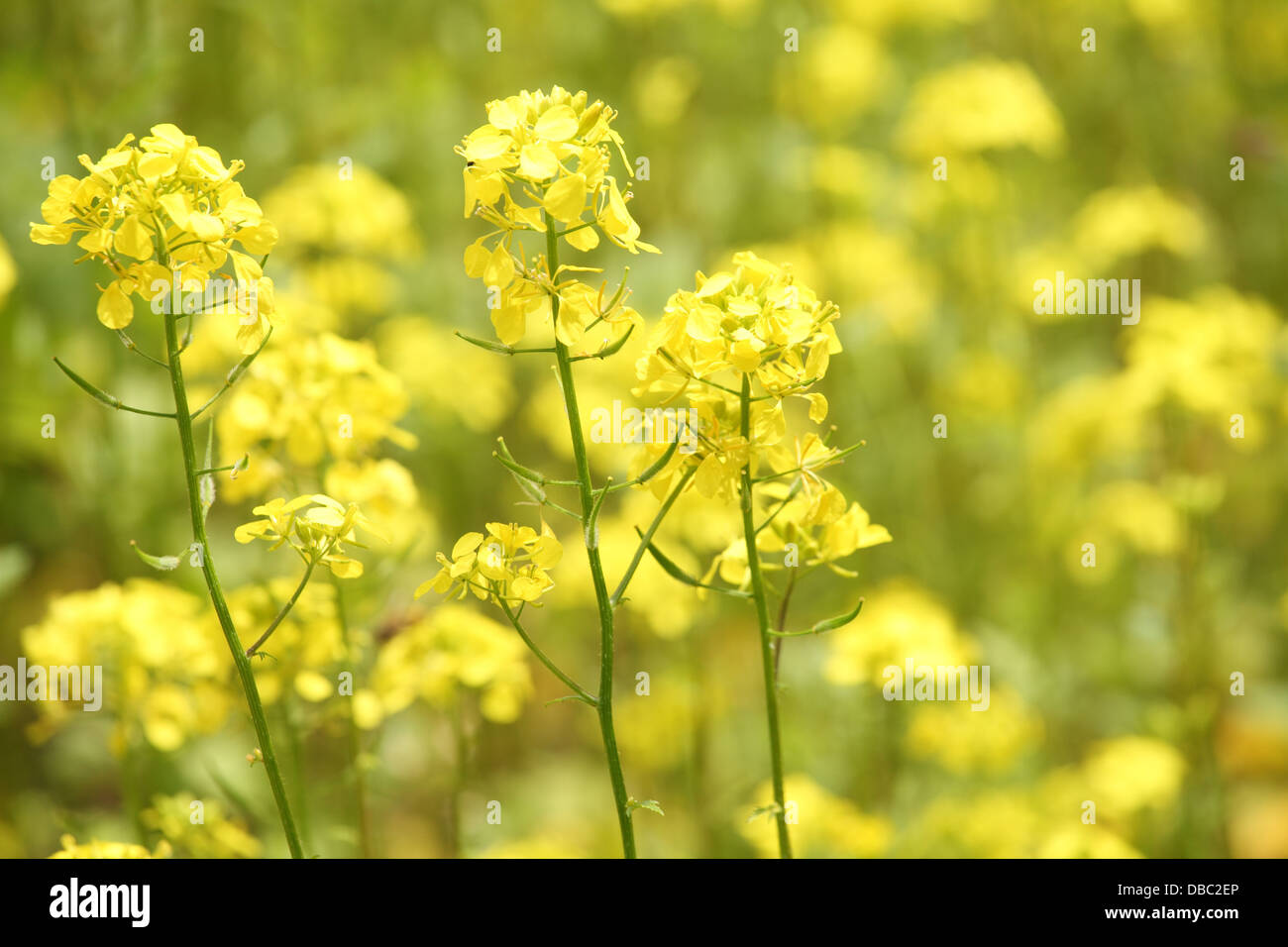 The blooming yellow flowers of white mustard plants sinapis alba the blooming yellow flowers of white mustard plants sinapis alba location male karpaty slovakia mightylinksfo