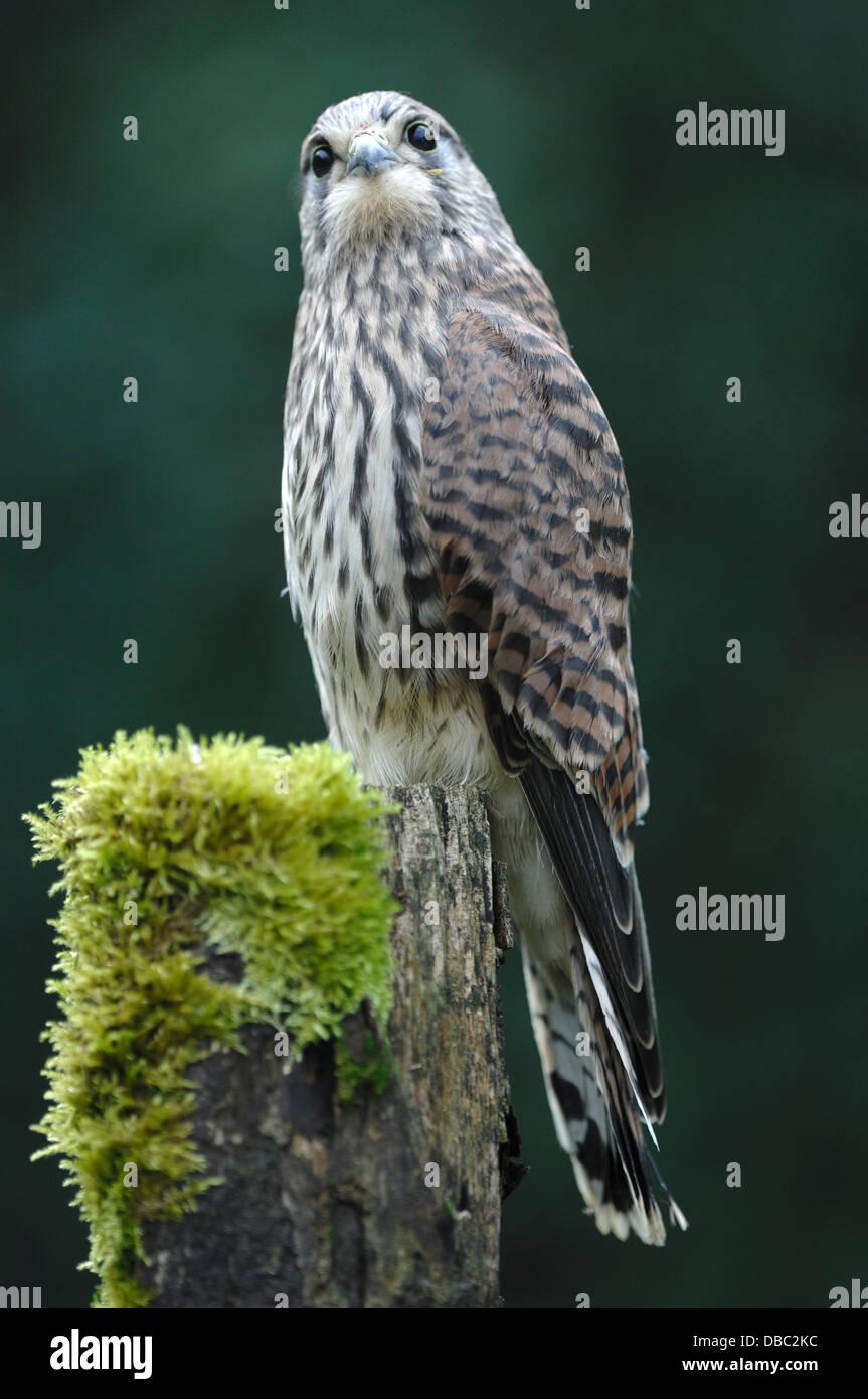 A kestrel on a mossy fence post UK - Stock Image