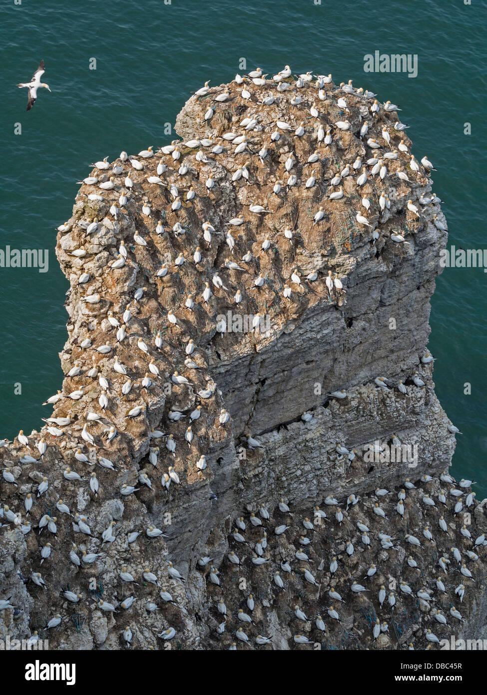 Gannets nesting at Bempton Cliffs East Yorkshire UK - Stock Image