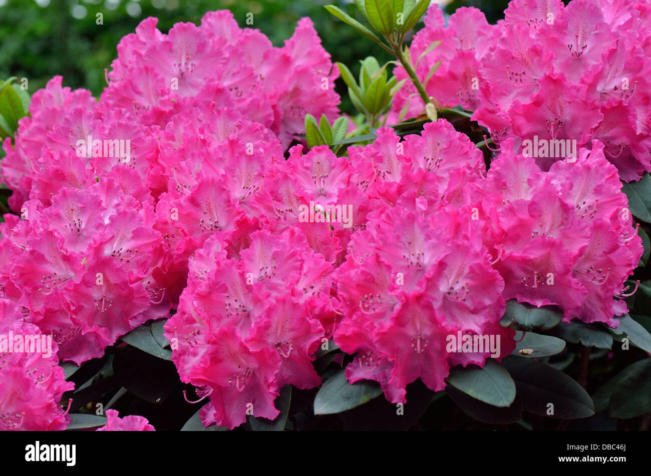 Pink purple rich Rhododendron Germania blossom - Stock Image