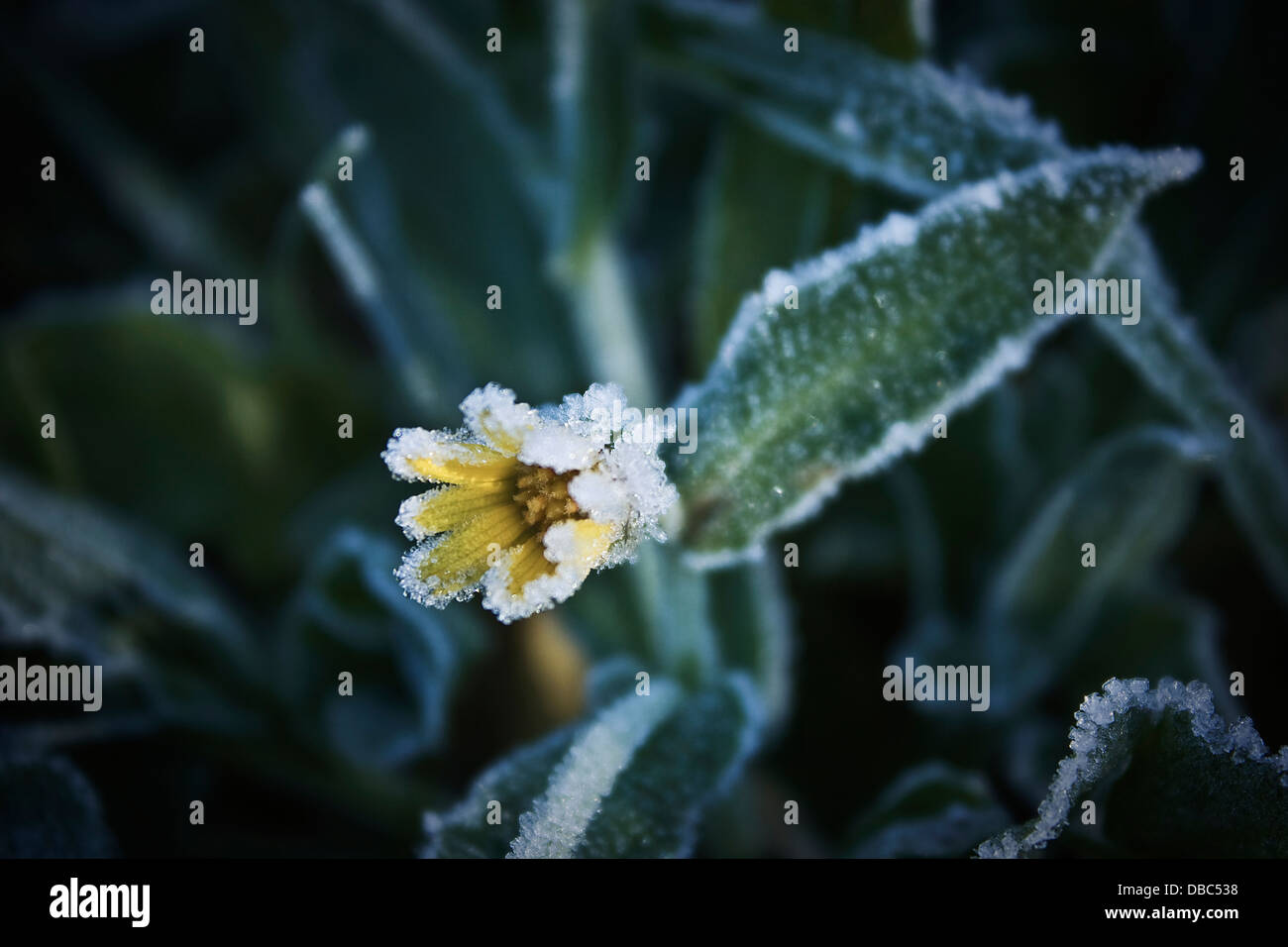 Yellow flower with frost on the grass field in Granada, Spain,Europe,winter, cold, green natural background, lonely - Stock Image