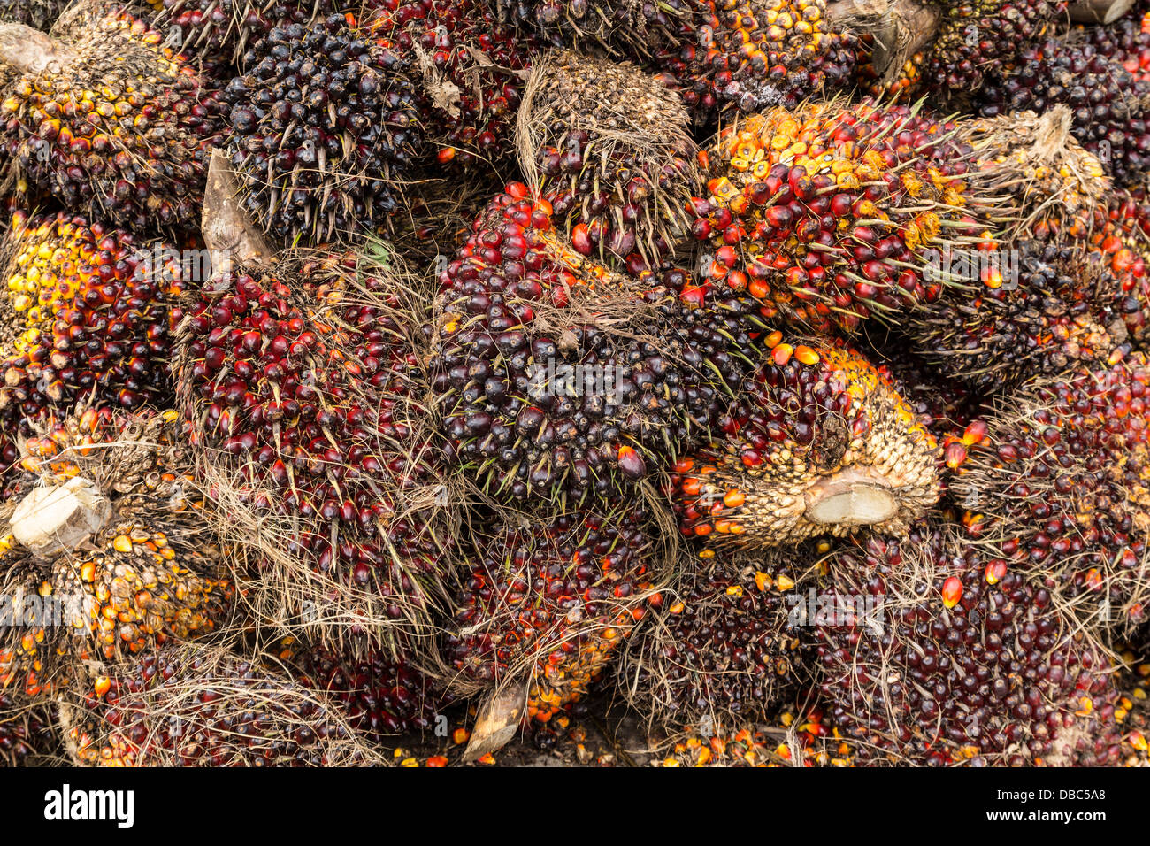 Oil palm fruits before processing in Thailand - Stock Image