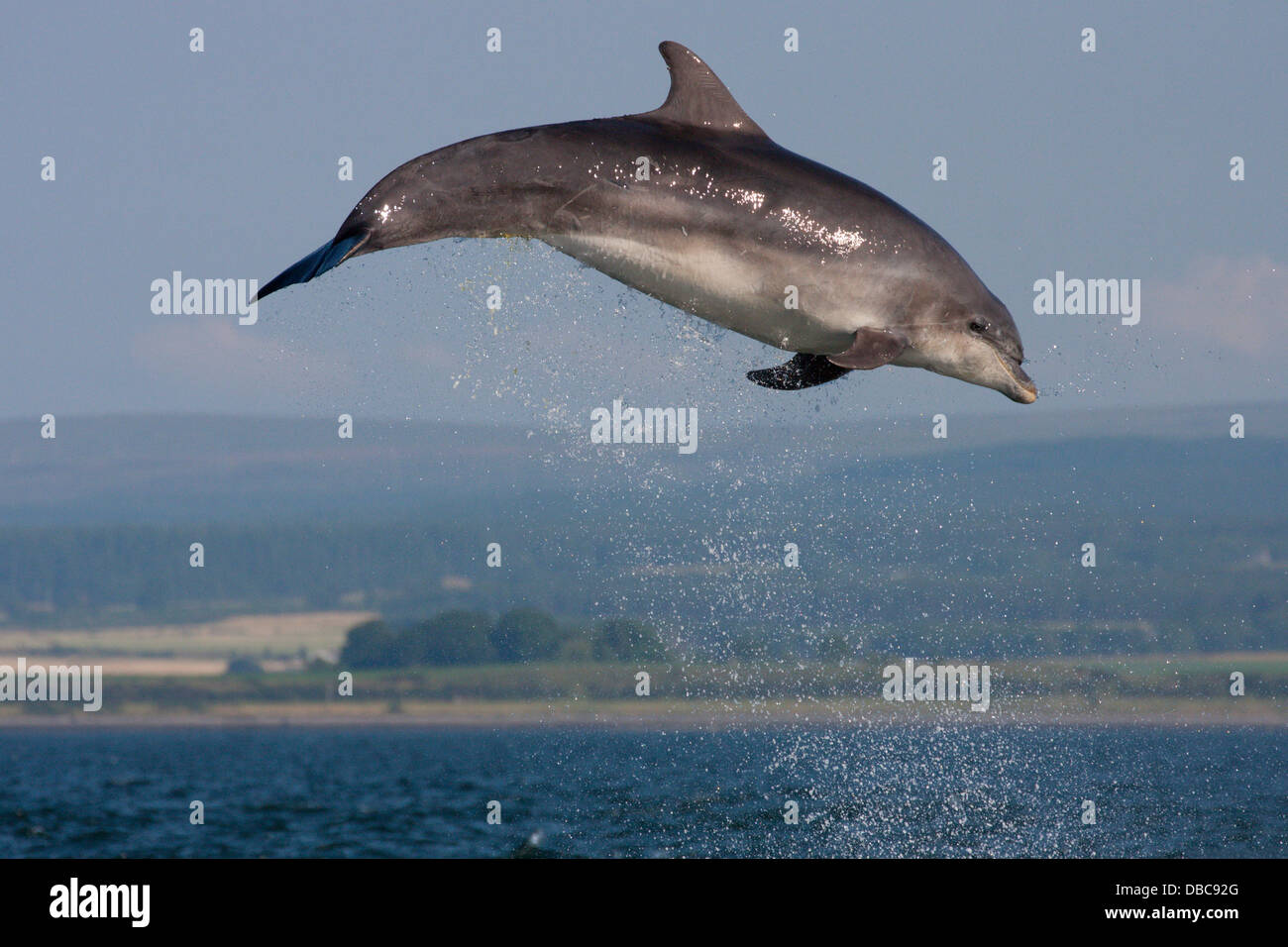 Bottlenose Dolphin (Tursiops truncatus) leaping, jumping, breaching in the Moray Firth, Chanonry Point, Scotland, - Stock Image