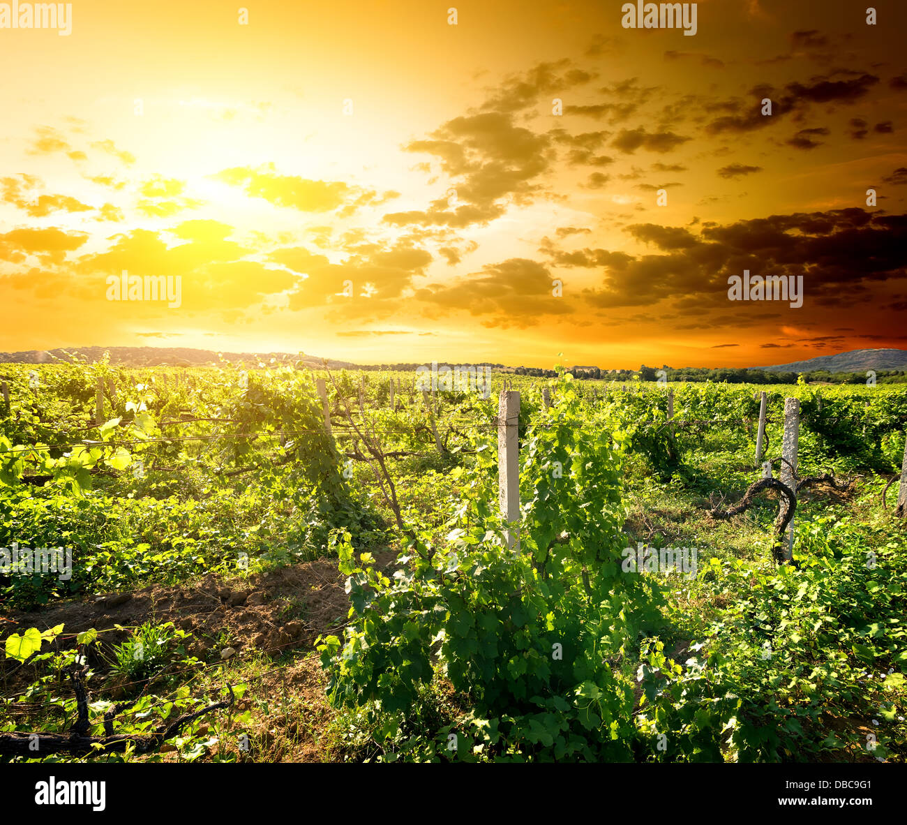 Green vinyard at the sunrise in Crimea Stock Photo