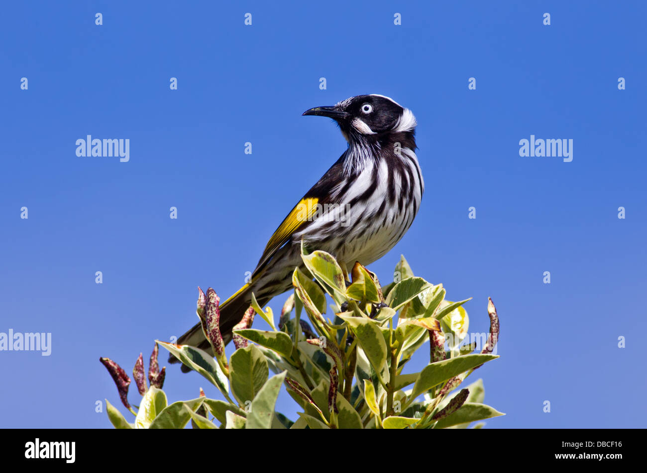 A New Holland Honeyeater perched on top of a bush with a lovely blue sky in the background Hallett Cove South Australia - Stock Image