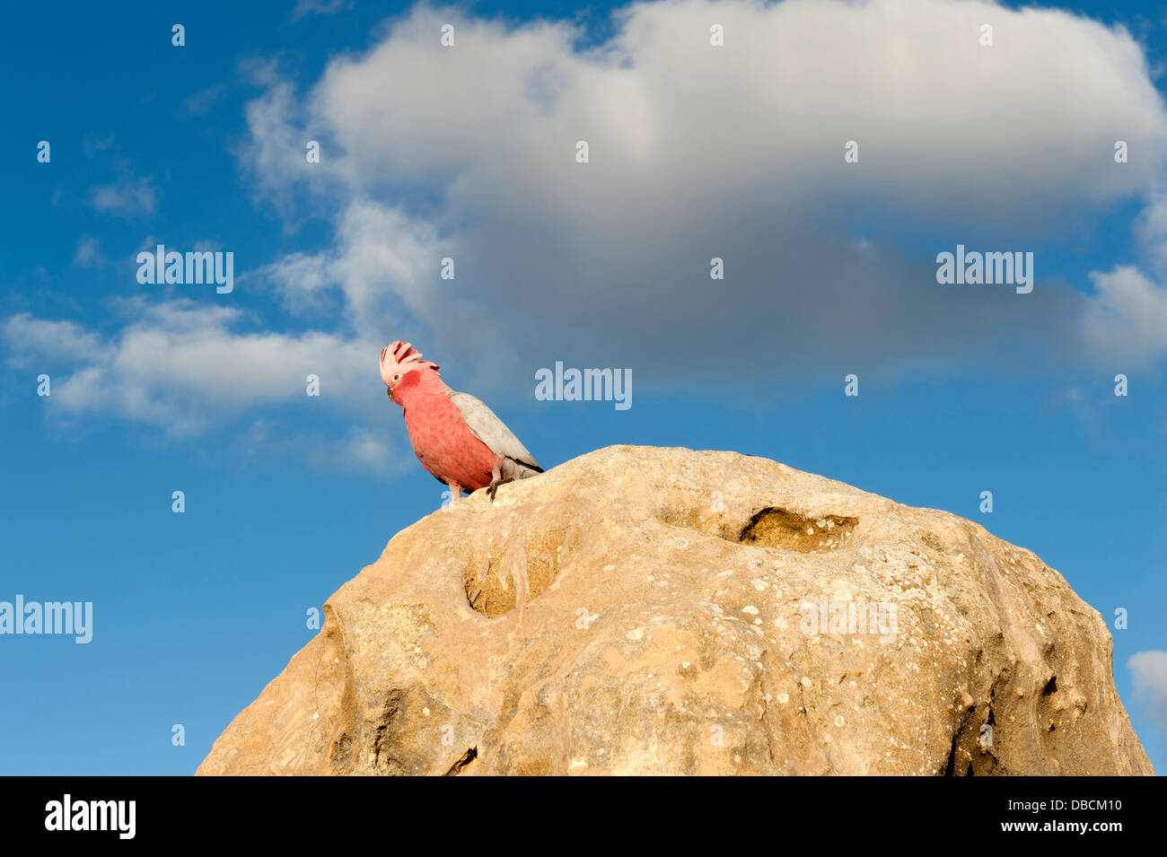 Galah on the tip of a sandstone pillar of the Pinnacles Desert in the heart of the Nambung National Park, Western Stock Photo
