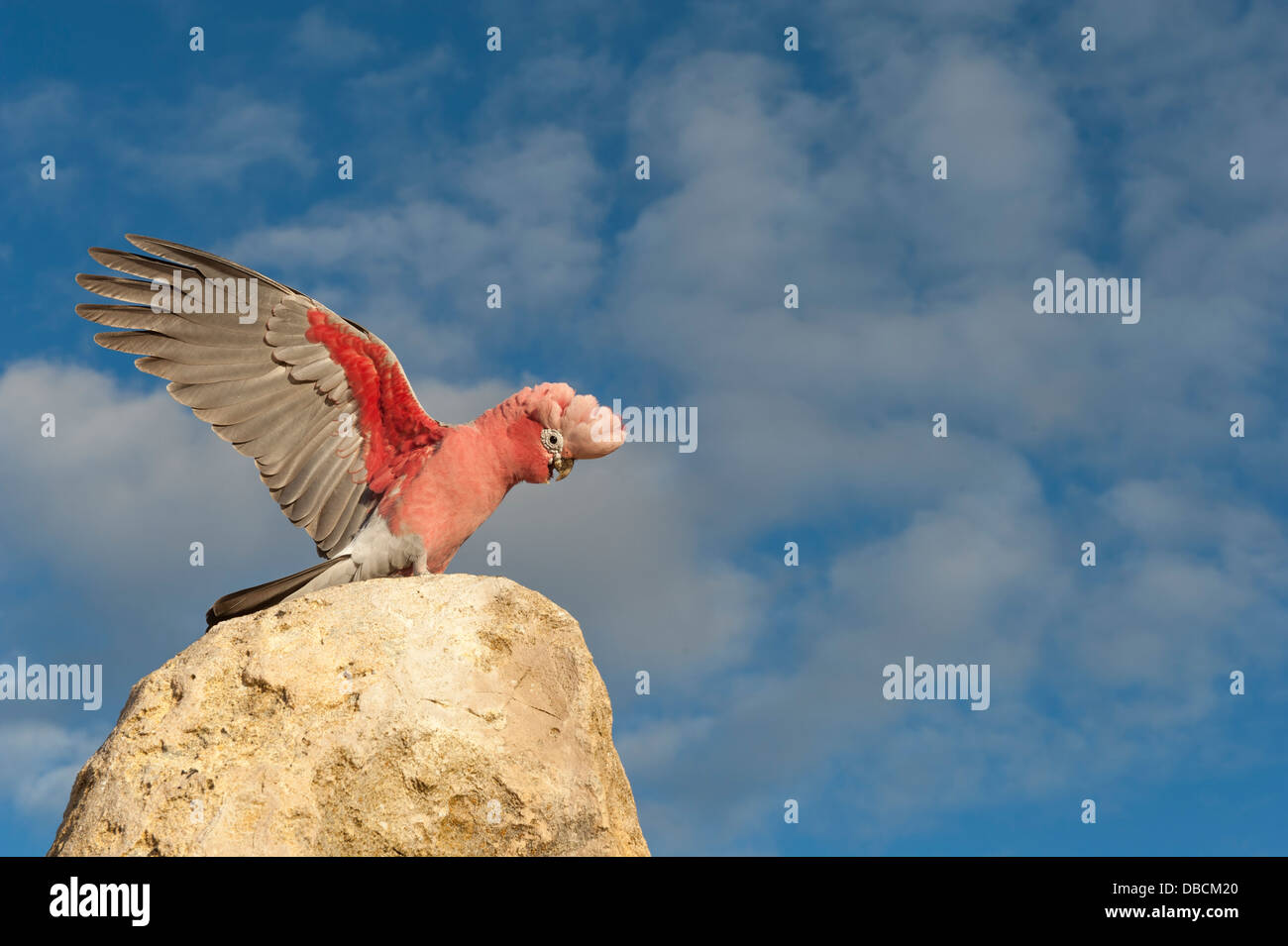 Galahs on the tip of a sandstone pillar of the Pinnacles Desert in the heart of the Nambung National Park, Western - Stock Image