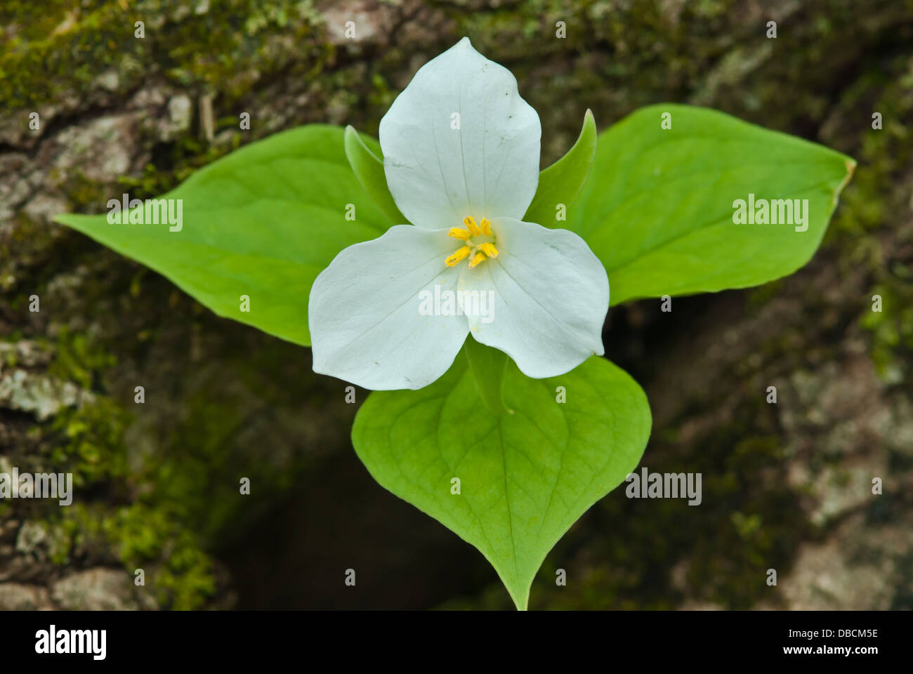 A single white trillium blossom (Trillium grandiflorum) growing beside a moss covered log Frontenac Provincial Park, - Stock Image