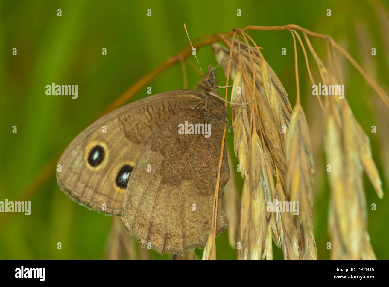 Common wood nymph butterfly (Cercyonis pegala) perched on a dried grass seedhead, Wagner Bog, Alberta - Stock Image