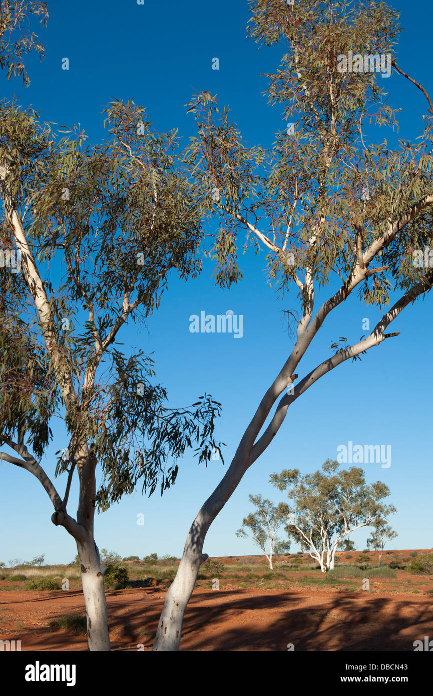 Moon rising between eucalypt trees in the Australian outback near Nanutarra, Western Australia - Stock Image
