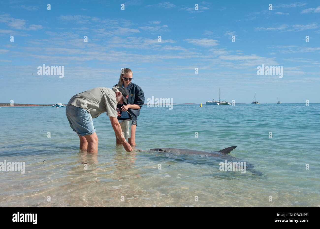 Feeding the dolphins programme for tourists by park rangers at Monkey Mia, Shark Bay, Western Australia - Stock Image