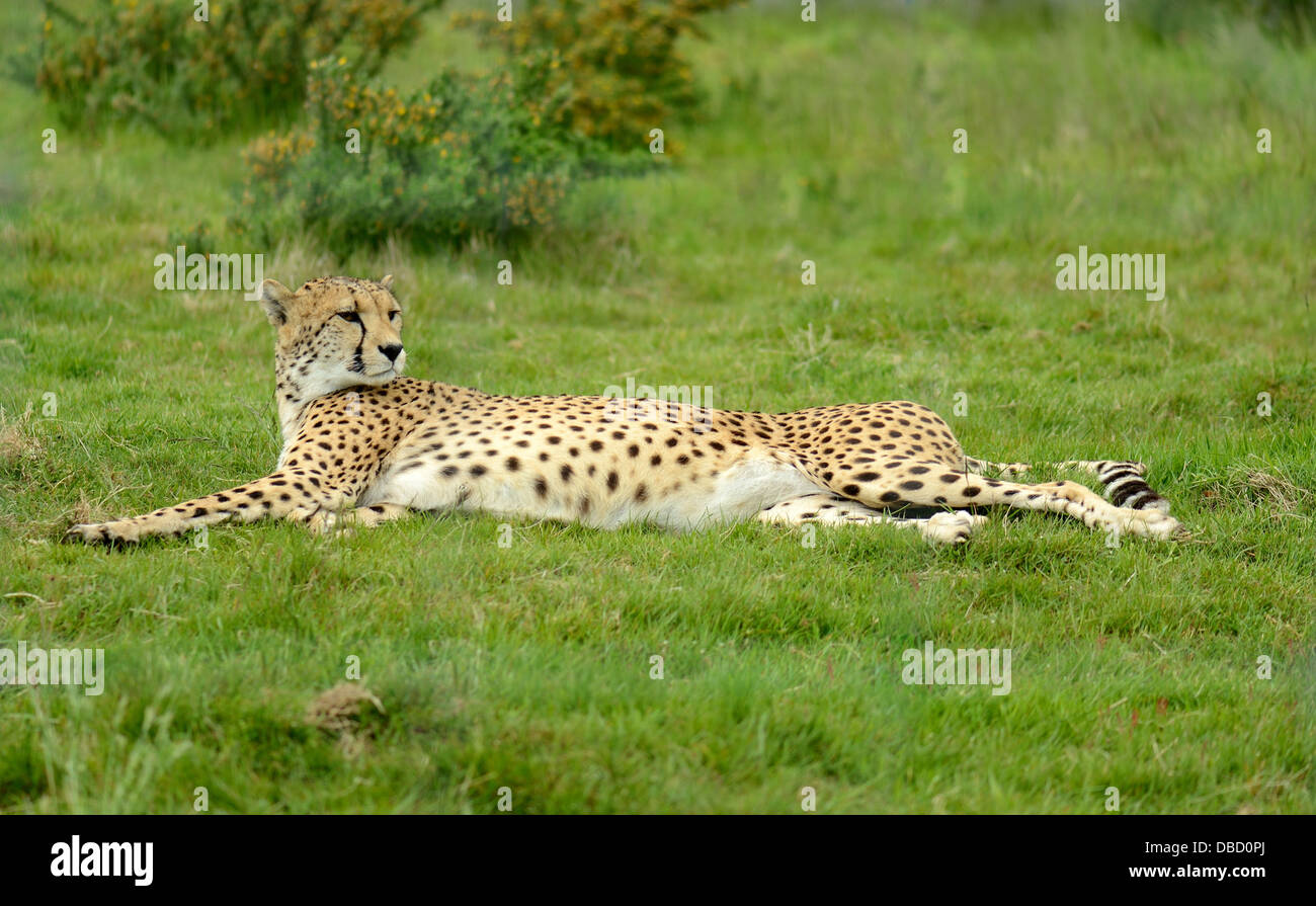 female cheetah laying down in grass after big chase - Stock Image