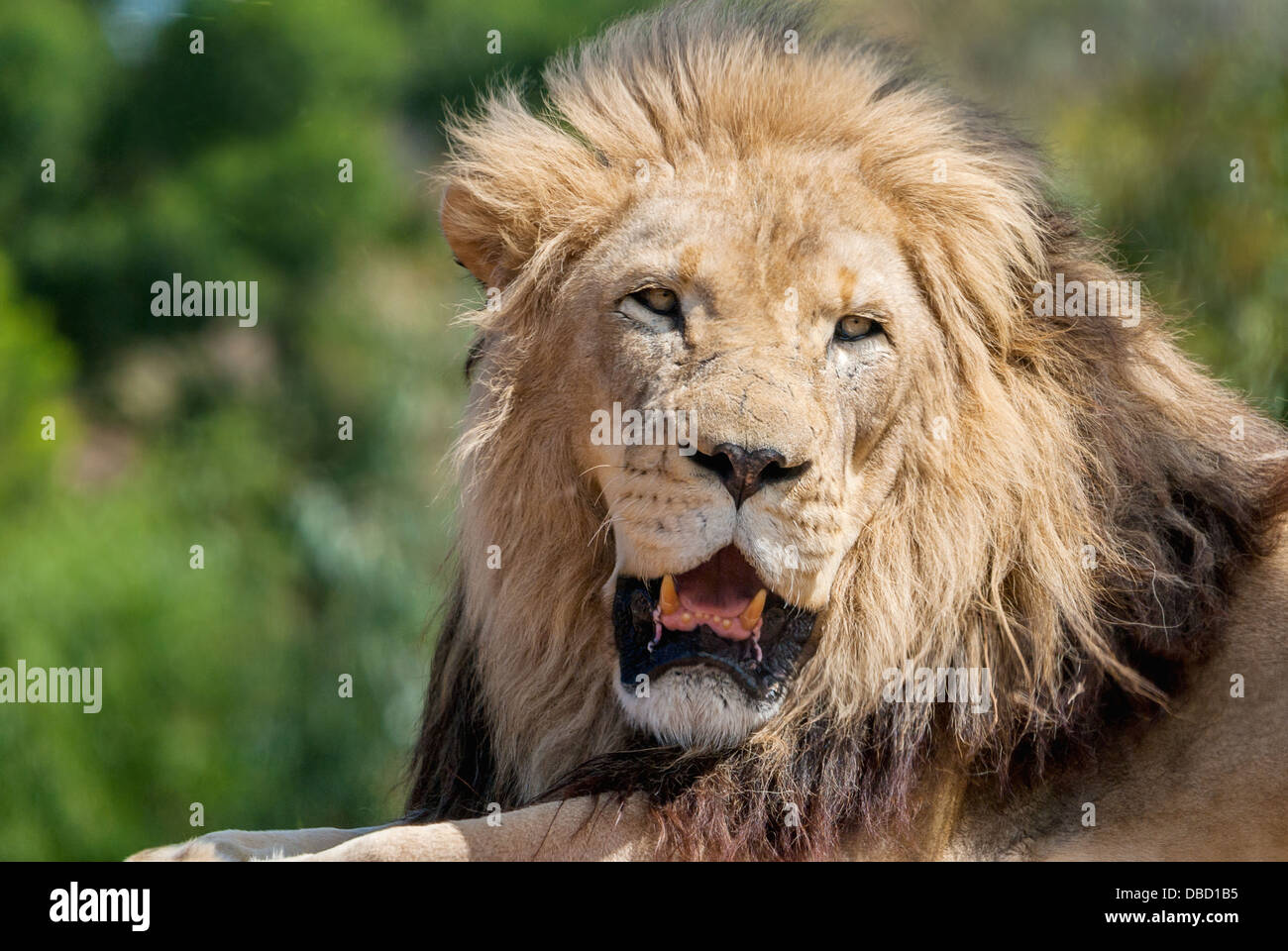 A close-up of a male lion - Stock Image