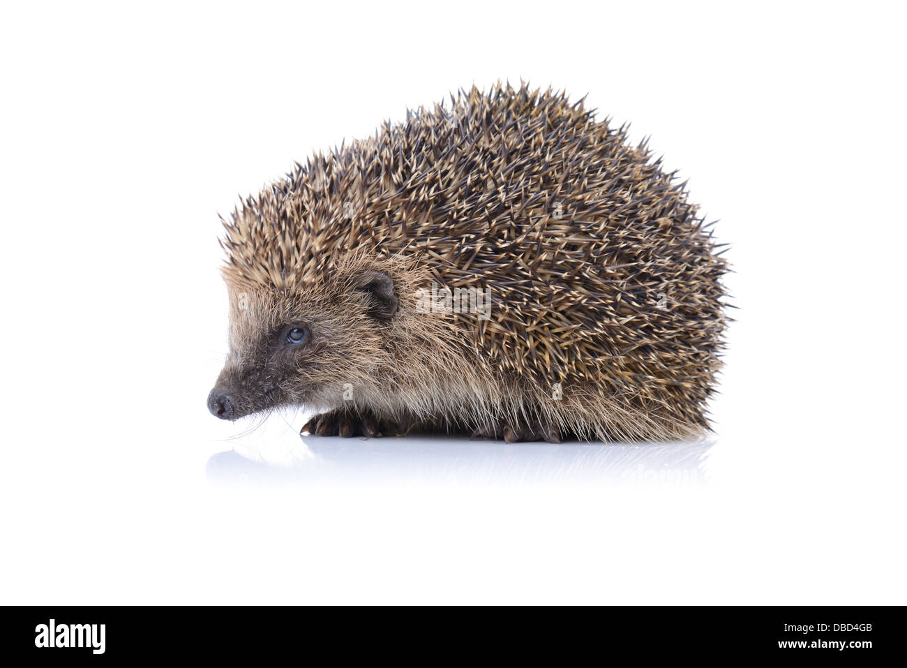 Concept of security a cute hedgehog isolated on white background - Stock Image